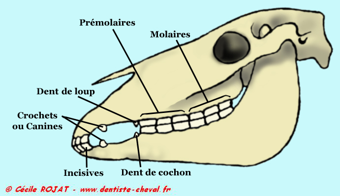 Dents Cheval 17 Anns 2 Forum Cheval